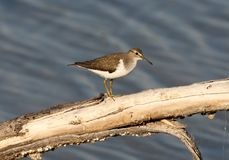 The common sandpiper Actitis hypoleucos on the large branch above water. Royalty Free Stock Photography
