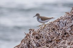 Common sandpiper Actitis hypoleucos looking for food during mi royalty free stock photo