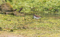 Common sandpiper & x28;Actitis hypoleucos& x29; on mud stock photography