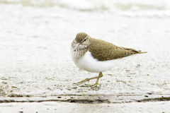 Common sandpiper Actitis hypoleucos Royalty Free Stock Image