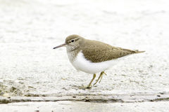 Common sandpiper Actitis hypoleucos Stock Images
