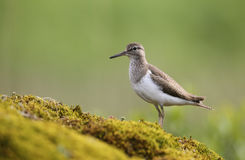Common Sandpiper, Actitis hypoleucos,  perched on a mossy rock in Scotland. Stock Images