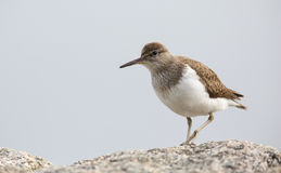 Common Sandpiper Actitis hypoleucos perched on a rock in Scotland. Royalty Free Stock Images