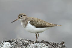 Common Sandpiper, Actitis hypoleucos,  perched on a rock in Scotland. Royalty Free Stock Image