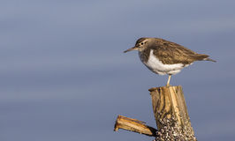Common Sandpiper (Actitis hypoleucos) Royalty Free Stock Image