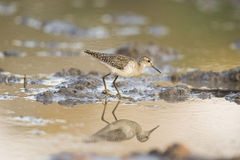 Common Sandpiper (Actitis hypoleucos) reflection. Common Sandpiper (Actitis hypoleucos) on water's edge with reflection Stock Photos