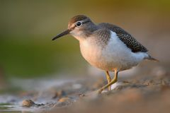 Common Sandpiper - Actitis hypoleucos Royalty Free Stock Photography