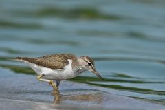 Common Sandpiper Actitis hypoleucos royalty free stock photos