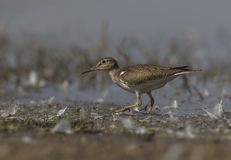 Common Sandpiper Actitis hypoleucos Walking. stock images