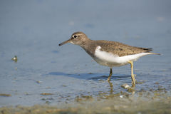 Common Sandpiper Royalty Free Stock Images