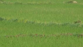 Common sandpiper bird in the rice field stock video