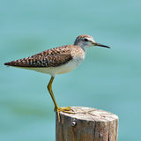 Common Sandpiper bird Royalty Free Stock Images