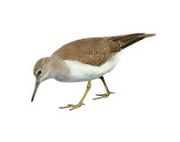 Common sandpiper Stock Photography