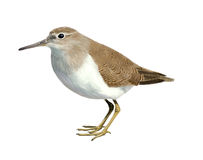 Common sandpiper. Digital illustration of a Common sandpiper vector illustration