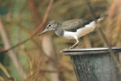 Common sandpiper Royalty Free Stock Image