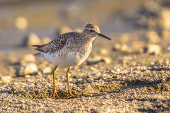 Common sandpiper during migration on Cyprus beach Royalty Free Stock Photo