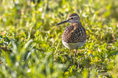 Common sandpiper during migration in Cyprus salt marsh stock image