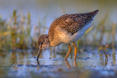 Common sandpiper during migration in dutch Wadden sea Royalty Free Stock Photo