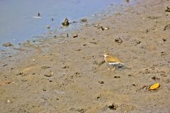 Common sandpiper on a muddy sea shore Royalty Free Stock Photos