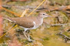 Common Sandpiper, Palearctic wading bird stands on muddy ground Royalty Free Stock Image