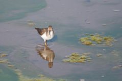 Common Sandpiper Stock Images