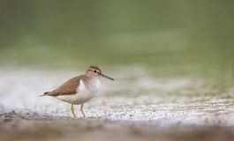 Common Sandpiper on the Shore Stock Images
