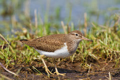 A Common sandpiper Stock Photos