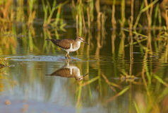 A Common sandpiper Stock Image