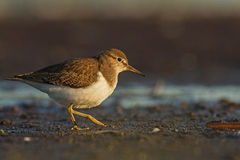 A Common sandpiper Stock Photo