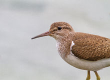 A Common sandpiper Royalty Free Stock Images