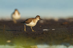 A Common sandpiper Royalty Free Stock Image
