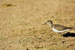 Common sandpiper or the Actitis hypoleucos royalty free stock image