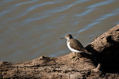 Common Sandpiper on a tree trunk Royalty Free Stock Images