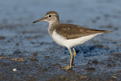 Common sandpiper, Tringa hypoleucos. Single bird by water, Cyprus , April 2015 Stock Images