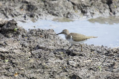 Common Sandpiper walking on the muddy bank of a lake search for Royalty Free Stock Images