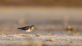 Common Sandpiper Wandering on the Shore. Common sandpiper Actitis hypoleucos is wandering on the shore of lake looking for food Stock Photos