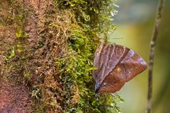 Common Saturn Butterfly Perching On Mossy Tree At Kinabalu National Park, Malaysia Stock Image