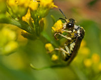 Common Sawfly Tenthredo notha Stock Photography