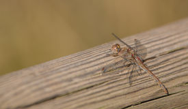 A Common Scarlet Darter on a log Stock Photo