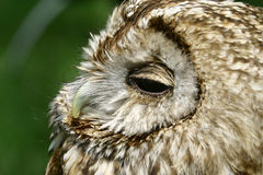 Common scops owl Stock Images