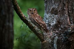 Common Scops Owl, Otus scops, little owl in the nature habitat, sitting on the green tree branch, forest in the background,. Bulgaria. Wildlife scene from royalty free stock photo