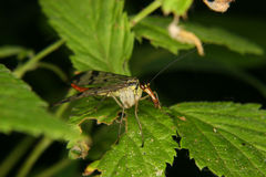 Common Scorpion fly (Panorpa communis) Stock Image