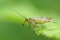 Common scorpionfly Royalty Free Stock Photos