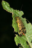 Common Scorpionfly (Panorpa communis) Royalty Free Stock Images
