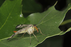 Common Scorpionfly (Panorpa communis) Royalty Free Stock Photography