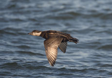 Common scoter, Melanitta nigra Stock Photos