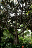 Common Screwpine (Pandanus utilis) Royalty Free Stock Photography