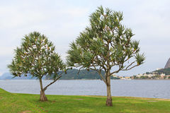 Common screwpine (Pandanus utilis) pine monocot tree near water Stock Photos