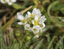 Common Scurvygrass. Morning Dew on Common Scurvygrass - Cochlearia officinalis Royalty Free Stock Image