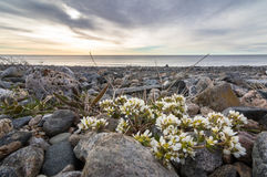 Common Scurvygrass, Cochlearia officinalis, on the pebble shore in the island of Jomfruland in Jomfruland National Park Royalty Free Stock Photos